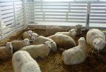 Овцеводство как бизнес для начинающего фермера – Овцеводство как бизнес для начинающего фермера