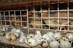 Как несутся перепелки в домашних условиях – Сколько яиц в день, месяц и год несет перепелка?