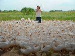 Гусиная ферма бизнес – Мини гусиная ферма — как заработать миллион на разведение гусей (2019) — с чего начать и сколько можно заработать