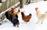 Содержание кур несушек в домашних условиях зимой – условия, температура, рацион, корм и другие аспекты