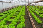 Зелень в теплице круглый год как бизнес – Выращивание зелени в теплице как бизнес: отзывы, рентабельность