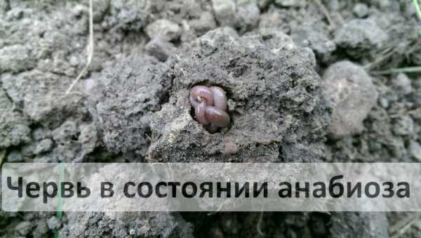 температура содержания червей